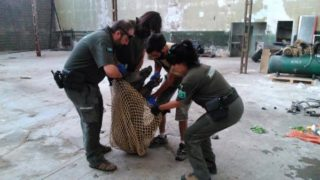 Els agents rurals capturant a un dels porcs senglars // Agents Rurals