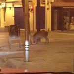 El porc senglar vist a la cantonada del carrer Verdaguer amb la plaça de la Vila // ADF Puigmadrona - Olorda