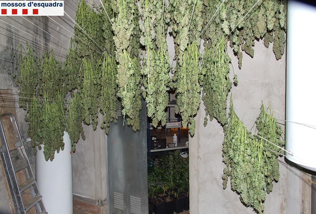 La marihuana, assecant-se // Mossos d'Esquadra